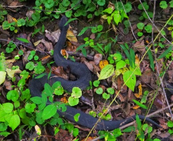 Big water moccasin