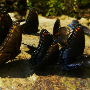 Butterfly blue collection on rock