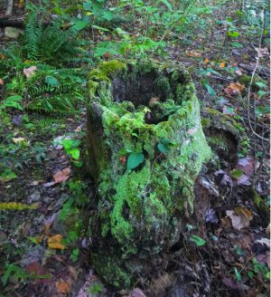 Decayed stump with mold and lichen on OHT