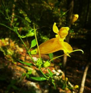 False Foxglove flower on green vine on OHT