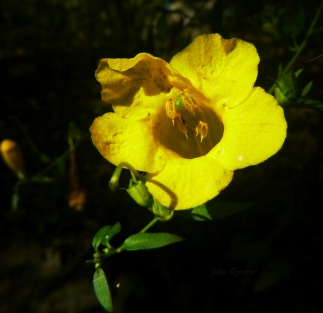 False Foxglove flower on OHT down shot into vase