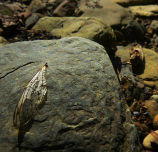 cicada wing on rock