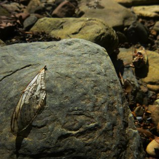 cicada wing on rock