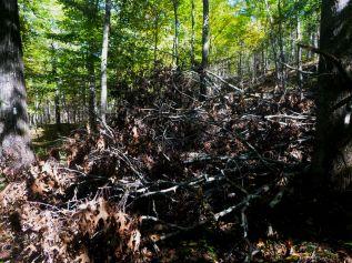 Fallen oaks on the OHT
