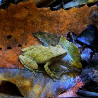 frog on orange dead leaf