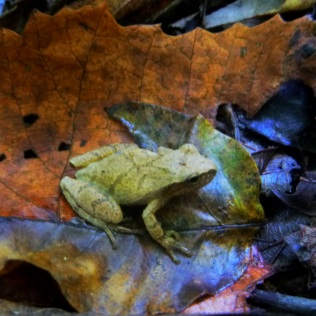 frog on orange dead leaf