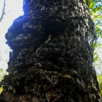 Grizzled old man tree face