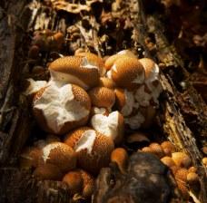 Mushroom balls puff like marshmallows on OHT