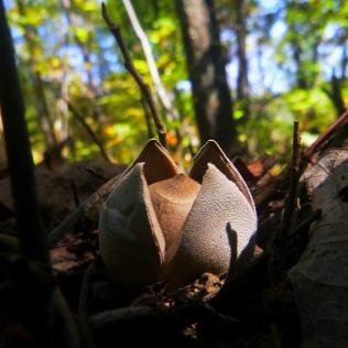 Peeling fungus acorn mushroom on OHT