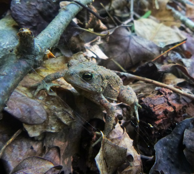 toad by spiderweb on OHT
