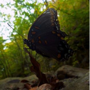 Blue butterfly balanced on fallen leaf on OHT