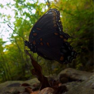 Blue butterfly balanced on fallen leaf on OHT