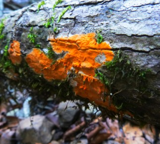 Bright orange flat fungus on OHT