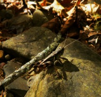 grasshopper on rock in fall on OHT