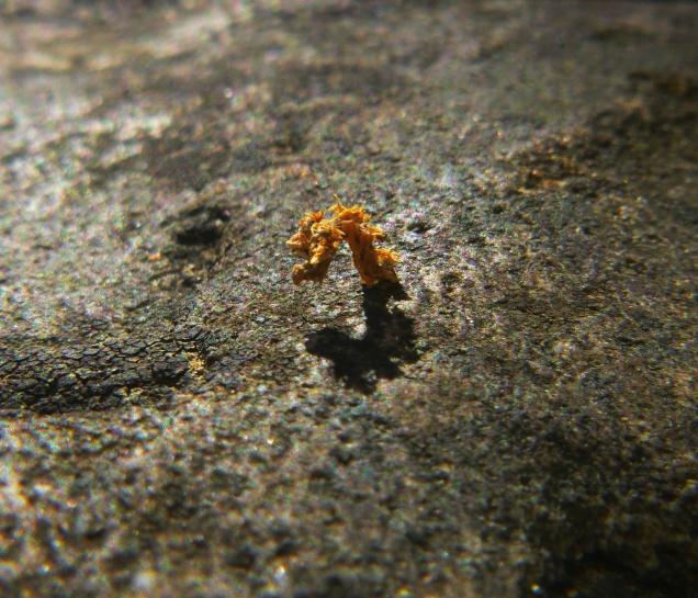 Inch worm in orange camo on OHT