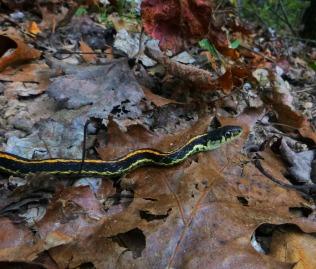 Garden snake on OHT over dead leaves