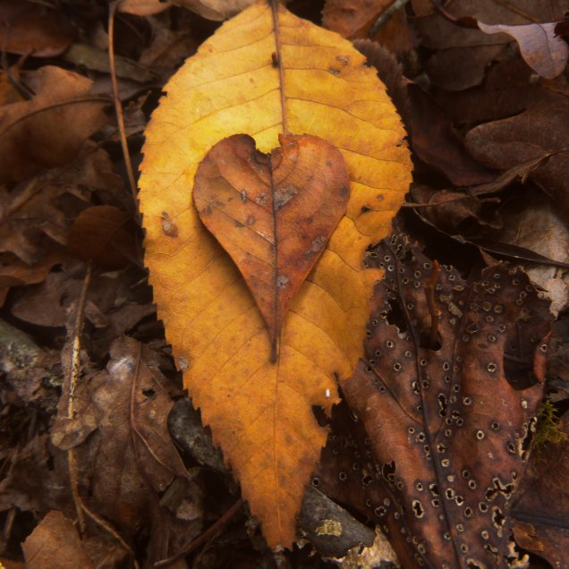 Heart on fall leaves on OHT