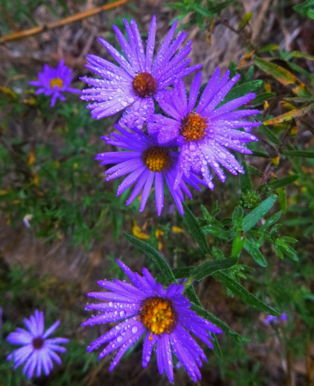 Purple Flowers with rain on Buffalo Trail
