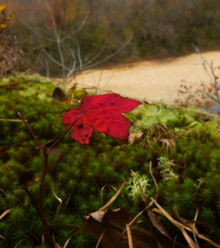 Red leaf over lichen on Buffalo