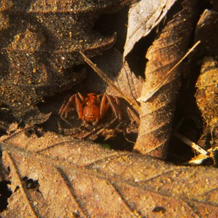 Red spider in dead leaves on OHT