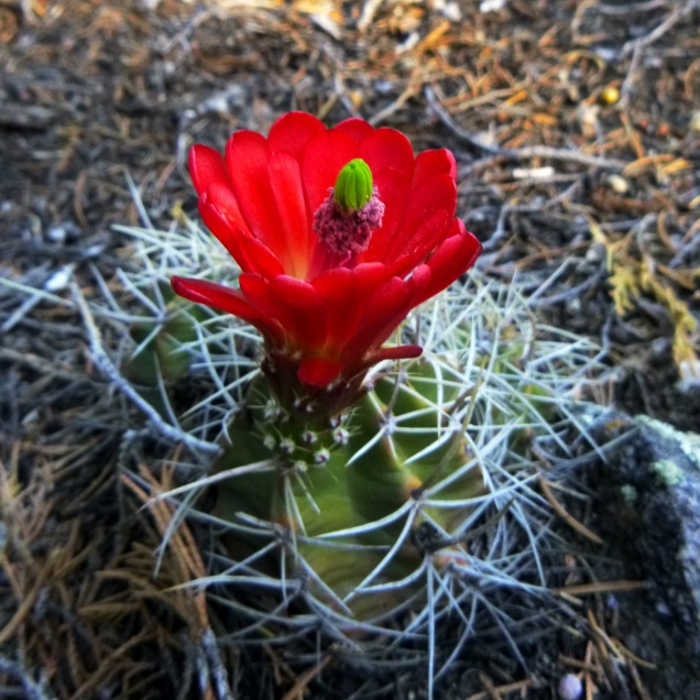Cactus Red Bloom