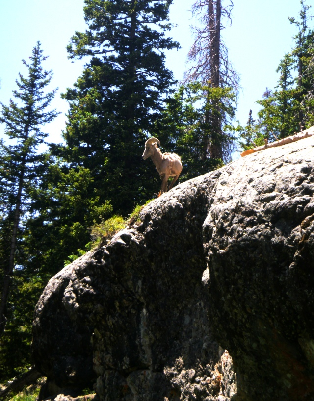 Mountain Goat at Willow Lake