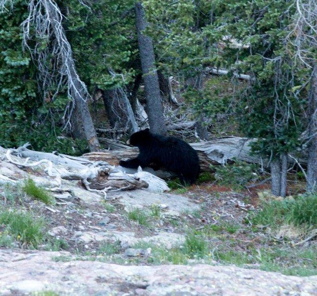 Steve the Bear