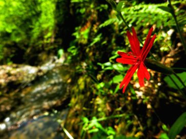Scarlet catchfly along creek by Buffalo River