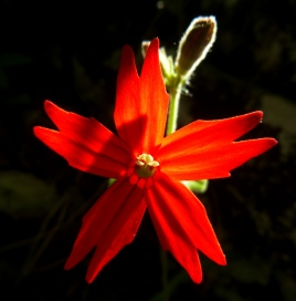 Scarlet Catchfly flower
